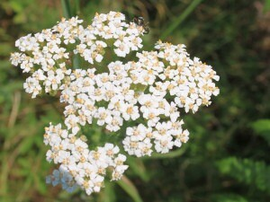 Yarrow flower | yarrowherbflowersachilleamillefoliumimg4824cr