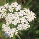 Passion Flower | yarrowherbflowersachilleamillefoliumimg4824cr