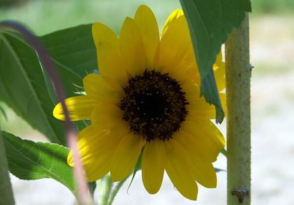 sexy sunflower