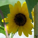 6 Herbs That Help With Anxiety | sexy sunflower
