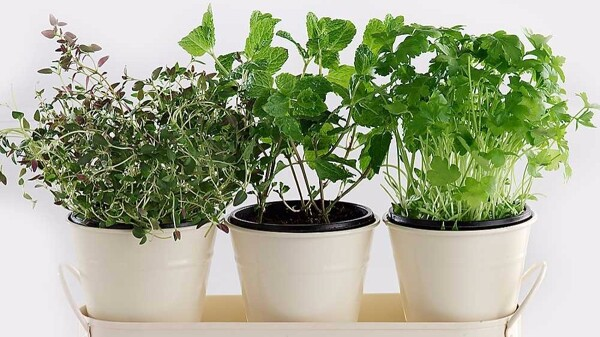 7 Herbs You Can Grow at Home | herb