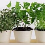 12 Herbes que vous pouvez acheter [Guide] | herbe