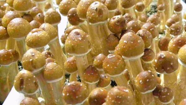 Comment cultiver les champignons magiques, suite | shroom2 scale