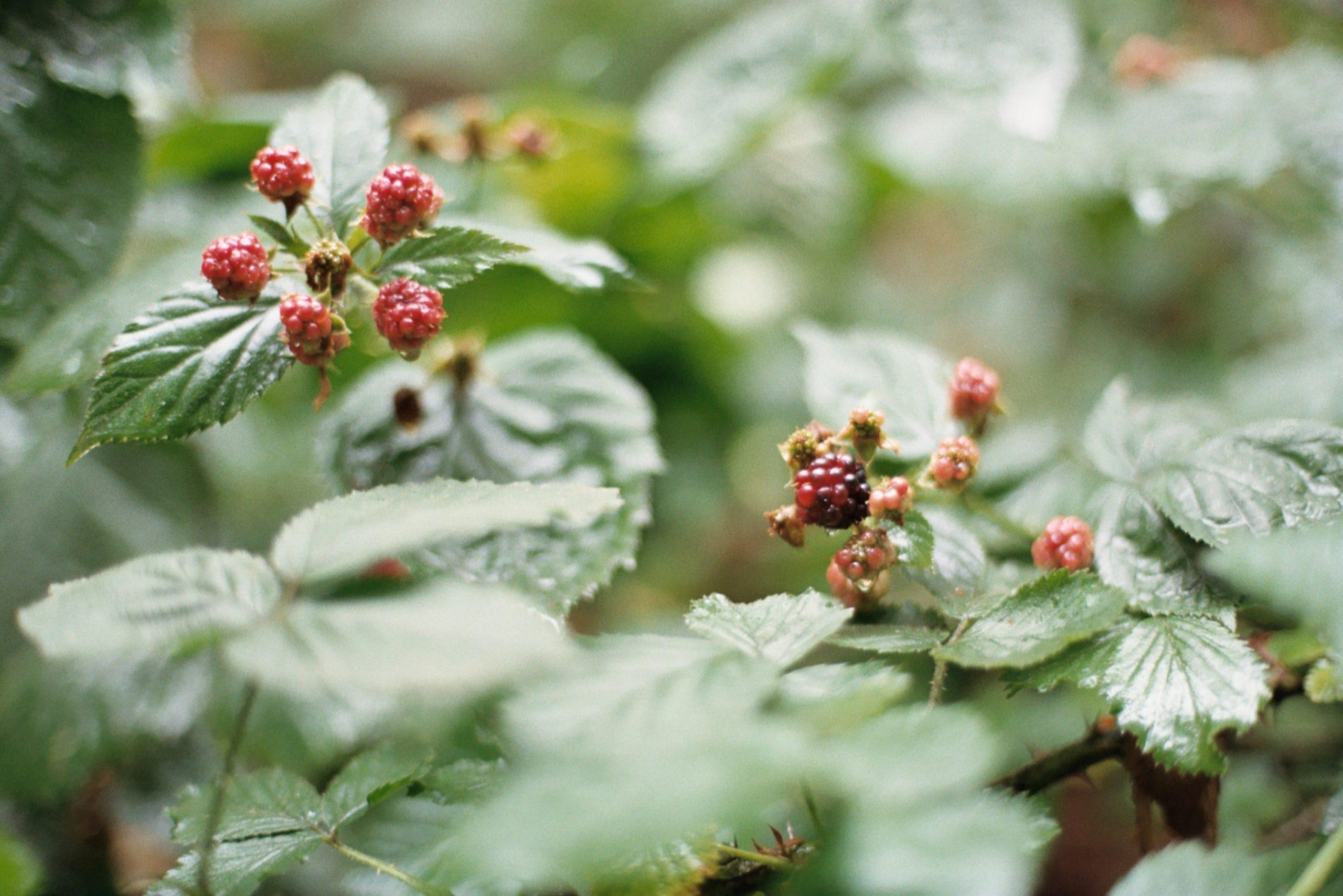 raspberry leaf in a field