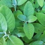 salvia-divinorum-leaf